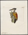Chrysocolaptes sultaneus - 1820-1860 - Print - Iconographia Zoologica - Special Collections University of Amsterdam - UBA01 IZ18700169.tif