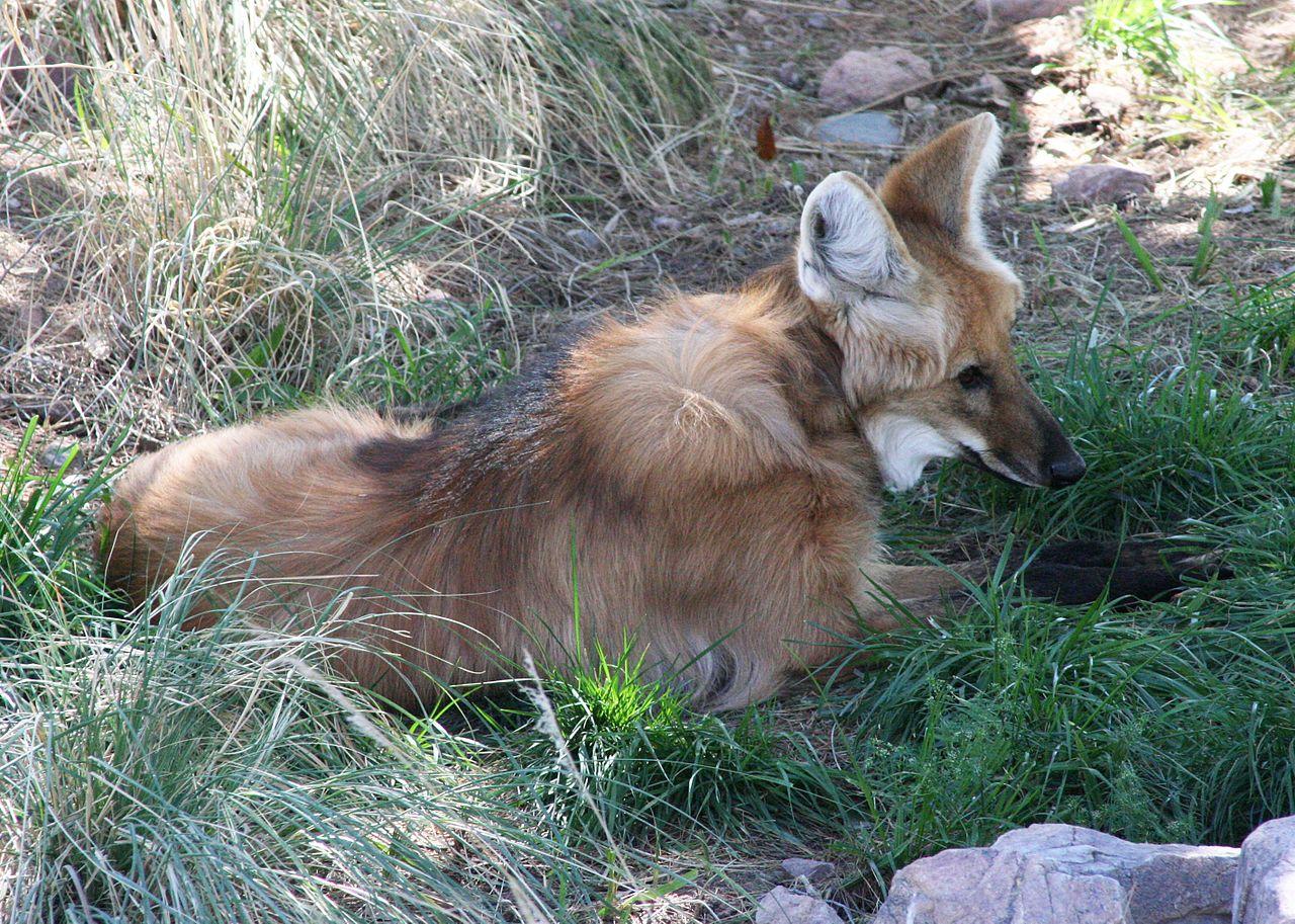 Chrysocyon brachyurus - Phoenix Zoo.jpg