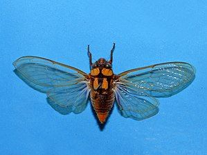 Cicadidae - Carineta formosa