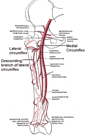 Acetabular branch of medial circumflex femoral artery - The profunda femoris artery, femoral artery and their major branches - right thigh, frontal view (circumflex femoral arteries labeled)