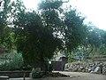 Cirerer de santa Llúcia del parc de l'Oreneta P1510575.jpg