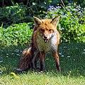 City of London Cemetery, Newham, London England - fox 13.jpg