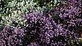 City of London Cemetery flowering shrub 4.jpg