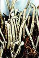 Cladonia deformis-1.jpg
