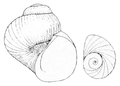 Clappia umbilicata shell 2.png