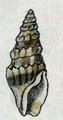 Clathrodrillia paria 001.png