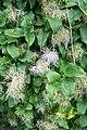 Clematis vitalba fruits 2.jpg