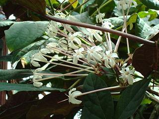 Clerodendrum quadriloculare species of plant