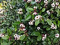 Climbing Oleander(Strophanthus gratus) 17.jpg