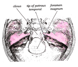 Clivus (anatomy) - Superior view of the clivus