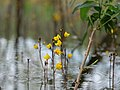 Close up of Utricularia vulgaris flowers in the Teufelsbruch swamp 01.jpg