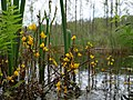 Close up of Utricularia vulgaris flowers in the Teufelsbruch swamp 03.jpg