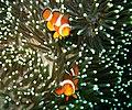 Clownfishes, Batangas, Anilao - panoramio.jpg