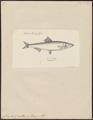 Clupea sprattus - 1774-1804 - Print - Iconographia Zoologica - Special Collections University of Amsterdam - UBA01 IZ15100033.tif