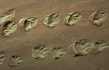 Indentations of roundish footprints with claw or toe marks in tan-colored rock
