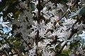 Coffee flowers in spring, Puerto Rico (5662181342).jpg