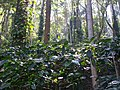 Coffee plantation in Araku Valley 09.jpg