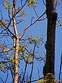 Cola de Ardilla común (Sciurus vulgaris). - panoramio.jpg