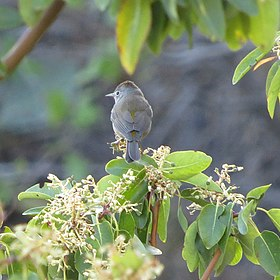 Colima Warbler, Big Bend National Park, Texas 1.jpg