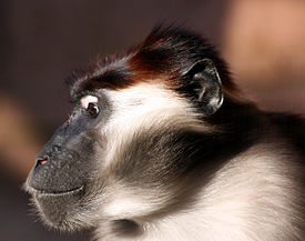 Collared mangabey, Colchester Zoo.jpg