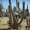 Collectie Nationaal Museum van Wereldculturen TM-20029705 Geit, vermoedelijk geofferd, op een cactus Bonaire Boy Lawson (Fotograaf).jpg
