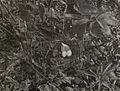 Columbidae 1905B.jpg