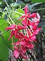 Combretum indicum flowers at Periya 2018 (4).jpg
