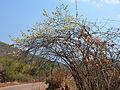 Combretum mossambicense (habitus).jpg