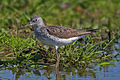 Common-Greenshank.jpg