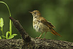 Common Nightingale - Hungary S4E5691 (19175825750).jpg