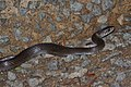 Common Rat Snake (Ptyas mucosa) 水律9.jpg