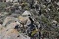 Common Raven - Corvus corax (43322723521).jpg