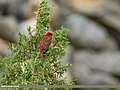 Common Rosefinch (Carpodacus erythrinus) (38741789935).jpg
