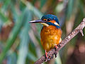 Common kingfisher, October 2015, Osaka.jpg