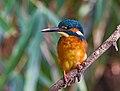 Common kingfisher, October 2015, Osaka.jpg