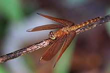 Common parasol (Neurothemis fluctuans) female S.jpg