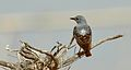 Common rock thrush 1.jpg