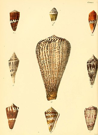 Conchologia iconica, or, Illustrations of the shells of molluscous animals (Conus, Plate 4) (6029518043).jpg
