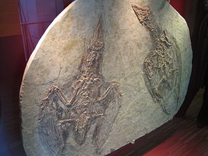 Confuciusornis - Two short tailed C. sanctus specimens preserved on a single slab