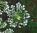 Conium maculatum inflorescence (12).jpg
