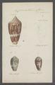 Conus achatinus - - Print - Iconographia Zoologica - Special Collections University of Amsterdam - UBAINV0274 085 10 0021.tif