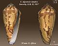 Conus algoensis simplex 2.jpg