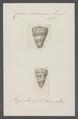 Conus eburneus - - Print - Iconographia Zoologica - Special Collections University of Amsterdam - UBAINV0274 086 02 0016.tif