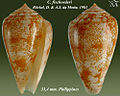 Conus fischoederi 1.jpg
