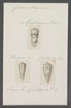 Conus magus - - Print - Iconographia Zoologica - Special Collections University of Amsterdam - UBAINV0274 087 02 0013.tif