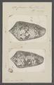 Conus textile - - Print - Iconographia Zoologica - Special Collections University of Amsterdam - UBAINV0274 085 10 0112.tif