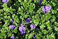 Convolvulus sabatius 'Blue Cascade' in Jardin des Plantes de Toulouse 01.jpg