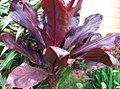 Cordyline fruticosa 1zz.jpg