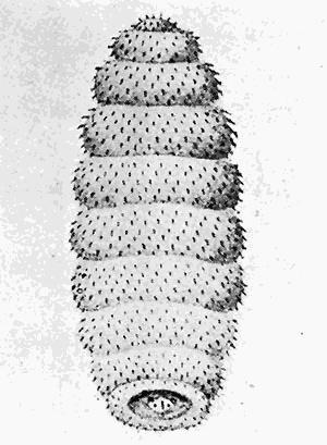 Cordylobia anthropophaga - Larva