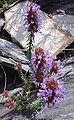 Coris monspeliensis re.jpg